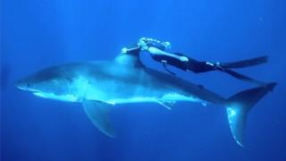 Plongée : Un requin plutôt cool !